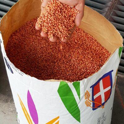 vendita-sementi-cereali-grano-orzo-riso-soia-alessandria-adaglio-semi-piemonte-confezioni-semenze-magazzino