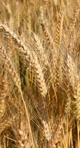vendita-sementi-semenze-certificate-cereali-grano-orzo-triticale-frumento_sofolk-cs_piemonte-alessandria-adaglio